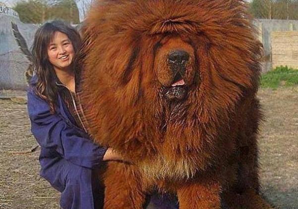 mastiff-1