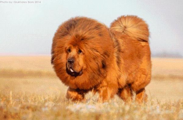 mastiff-2