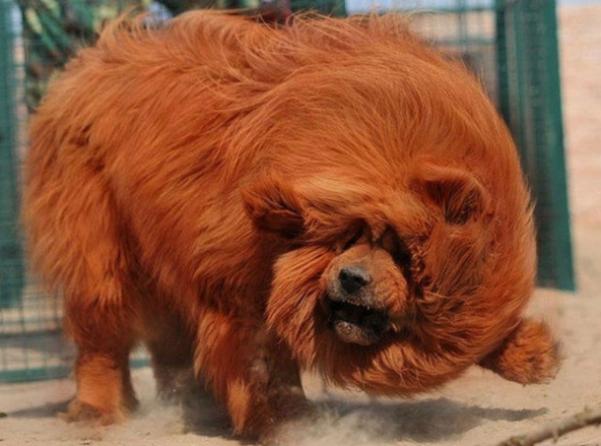 mastiff-3