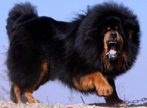 mastiff-5