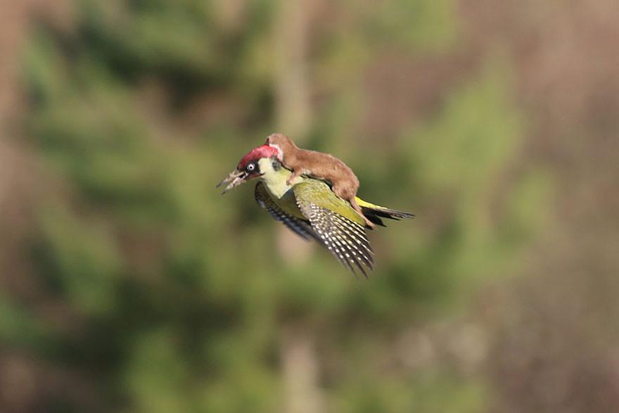 Дятел летит 1