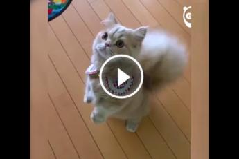 Кошка хвост