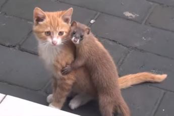 Кот и ласка