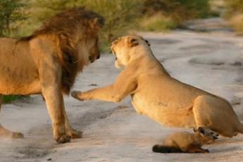 Львица и лисенок
