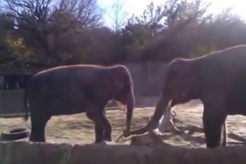 Психанул слон 1